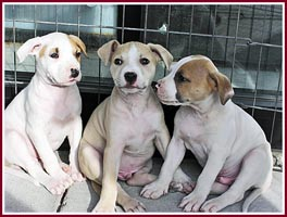 The Three Amigoes are purebred AKC registered Am Staf pups who were being given away free to passing cars along a busy highway.