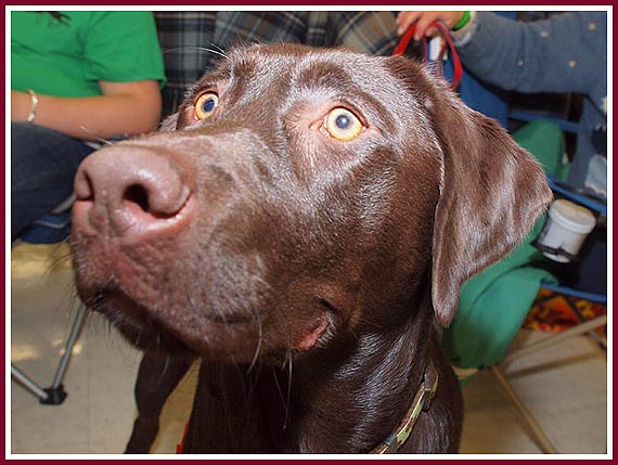 Kali, a purebred chocolate lab, was surrendered at age 7 months to a shelter because her owners did not want to be bothered training her.