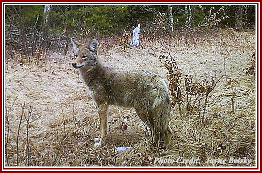 Coyotes are a frequent target of so-called killing contests.