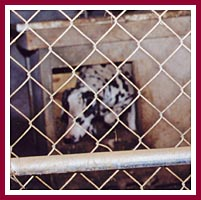 Dalmatian mama in whelping pen.