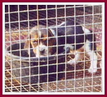 A skinny little beagle puppy at the WI puppy mill described in this article.