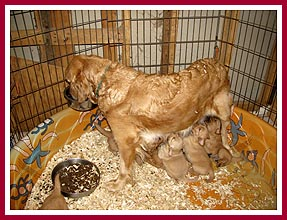 Mama golden retriever and pups in plastic swimming pool kept in breeder's bathroom. June 2009