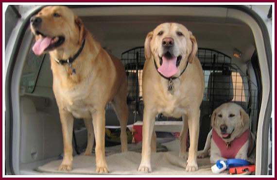 Lilly, in the pink vest, with her two canine brothers, Sam and Tucker
