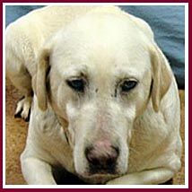 A puppy mill rescue golden lab like the ones recently rescued in Pierce Co, WI