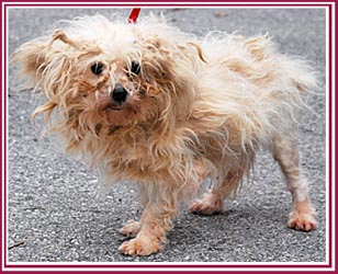 Maltese mama dog from puppy mill