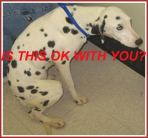 "Ellie Mae, a tiny Dalmatian rescued from a Dexter, WI ""breeder"""