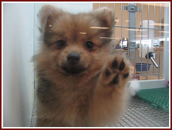 """Teddy Bear"" puppy asking to be taken out of his ""puppy aquarium"" at Petland petstore in Janesville, WI."