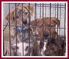 These puppies would have been killed by a backyard breeder for his own carelessness had a rescue not stepped in.