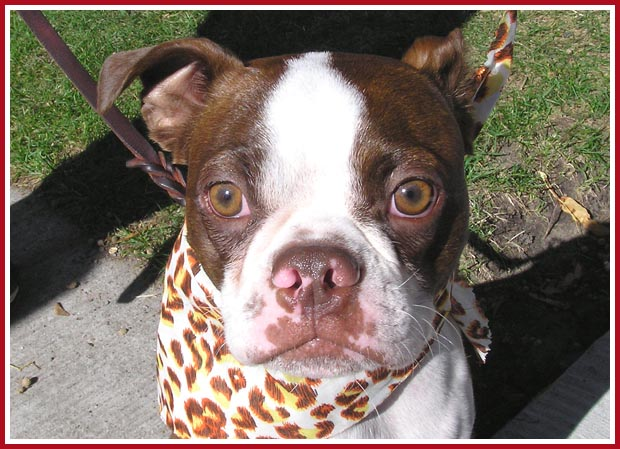 Rascal the red Boston Terrier