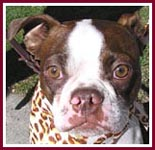 Rascal the Boston Terrier was rescued from the dumpster at a puppy mill auction.