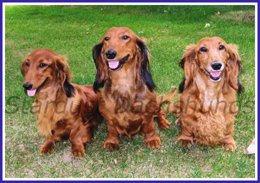 Three generations of Stardust Dachshunds