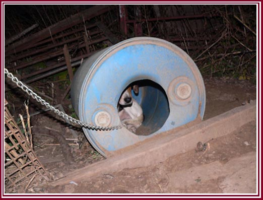 Tethered dog with plastic drum for shelter.