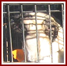 One of several dogs in one of several cages being loaded into an SUV for their trip from one mill to another.