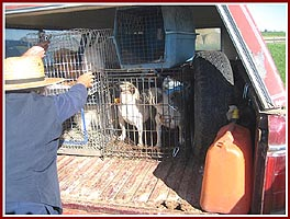 Dogs being loaded into a puppy miller's van after a dog auction.