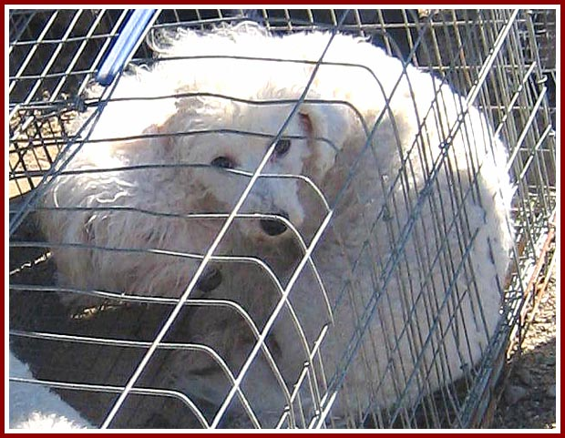 Two dogs huddled in a cage prior to their sale at the 22 September 07 Thorp dog auctioin.