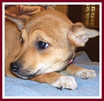 Allie the Shiba Inu - Rat Terrier mix.