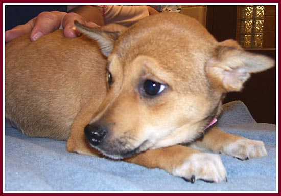 Allie the shiba inu-rat terrier mix has helped to bring Coffee the Min Pin out of her shell!