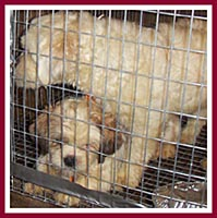 Mama and pup in filthy cage, waiting to be sold at a dog auction.