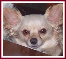 Dalton the chihuahua had been so traumatized that he attacked anyone who tried to touch him.