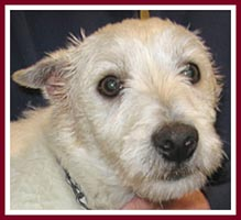 Dusty the Westie had painful ear infections when he was purchased.
