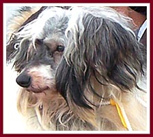 Thorp, a Chinese Crested Powder Puff, was so matted that his hair was sheared off in one piece!
