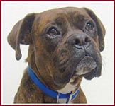 Max the Boxer tested positive for brucellosis.
