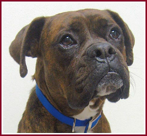 Max the handsome brindled boxer with brucellosis.