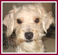 Martin was sold as a purebred poodle.