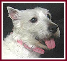 Sheba the west highland terrier