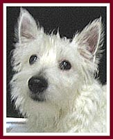 Sweetie the West Highland terrier