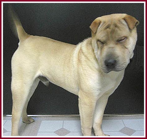 Woo the gorgeous shar pei pup has entropic eyelids and cannot open his eyes without extreme pain.