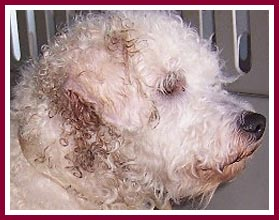 Poodle mix from Thyme & Sage Ranch.
