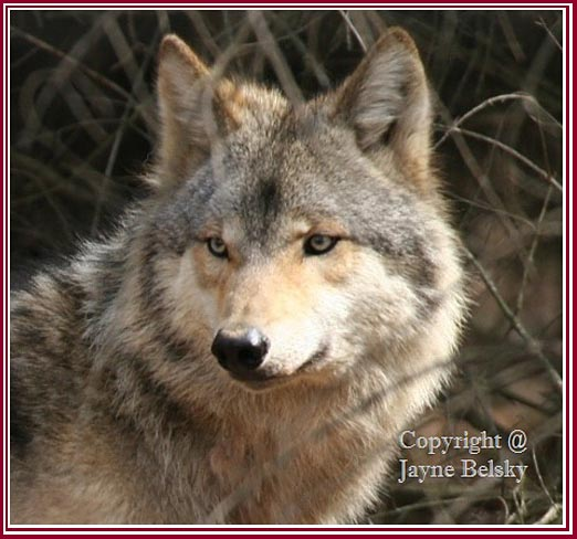 A Michigan Gray Wolf