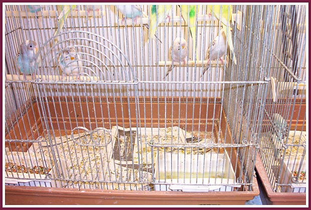 Pet Store parakeets in a crowded, filthy cage.