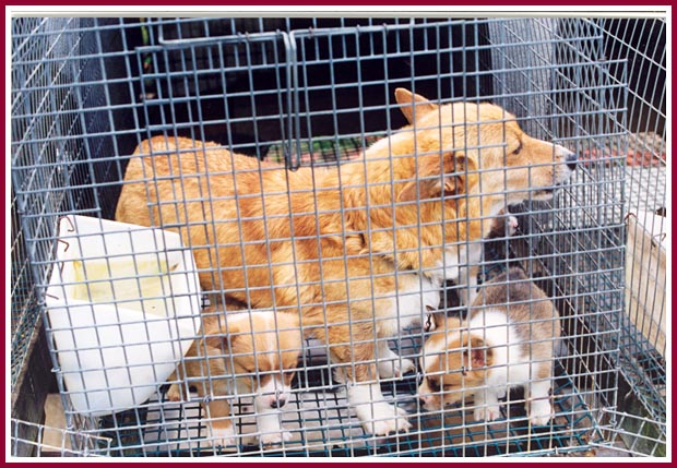 Corgi and pups in cage barely big enough for Mama to turn around in.