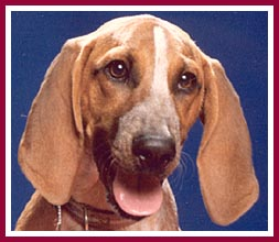 Henrietta the puppymill coonhound pup had severe socialization problems to overcome.