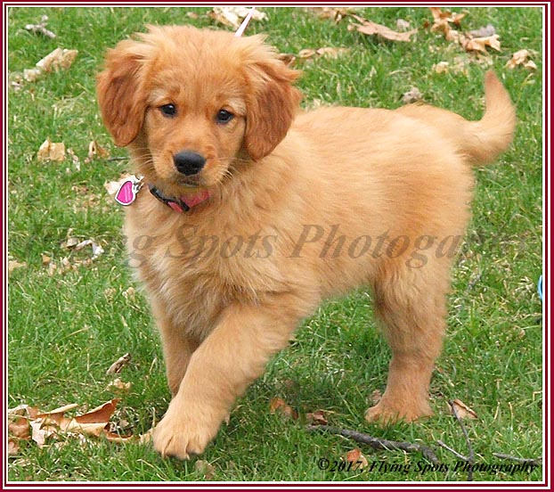 Lucy is a beautiful golden retriever who was purchased from a responaible, reputable breeder.