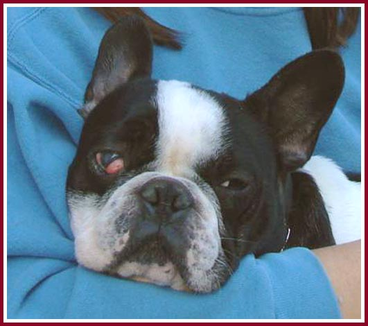 Cory the French Bulldog had cherry eye when purchased.