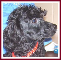 Dude the black miniature poodle might be part maltese.