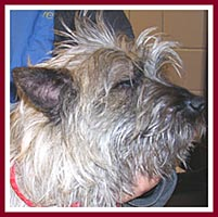 Jimmy the Cairn terrier just was not in the mood to smile for the camera with yeast infections in both ears.
