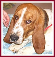 Rose the basset hound was sold with both of her parents.