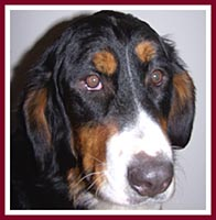 Gail, a Bernese Mountain Dog purchased by a rescuer at the Sept 07 Thorp Dog Auction