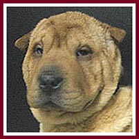 Tao the Shar Pei had inturned eyelids that scratched his eyes.
